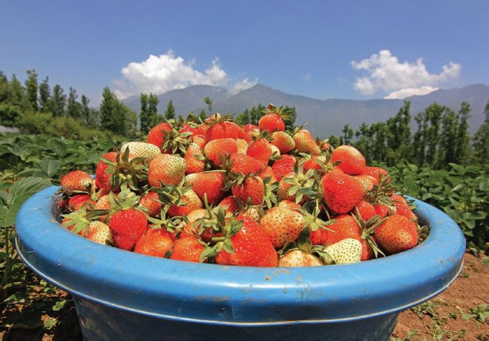 Strawberries selling at half the prices as last year
