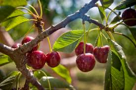 Rains further dampen cherry farmers' hope