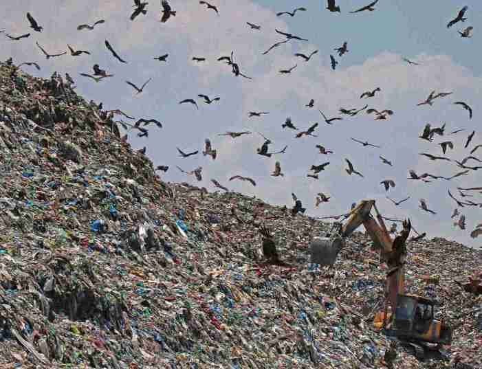 Eagles fly at a garbage dump on World Environment Day