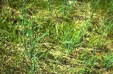 'Poisonous grass' in Budgam pastures suspected for sudden illness, deaths of cows