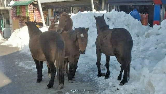 Abandoned horses roam about Shopian in freezing cold, eating garbage and tree bark