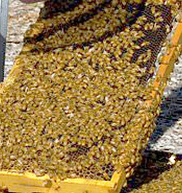 Honeybee venom as cure of cancer