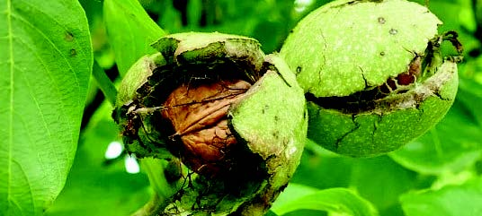 52-yr-old ban on cutting of walnut trees in Kashmir may be lifted