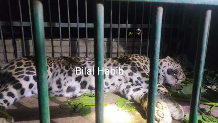 Another leopard captured in Pampore by Wildlife team