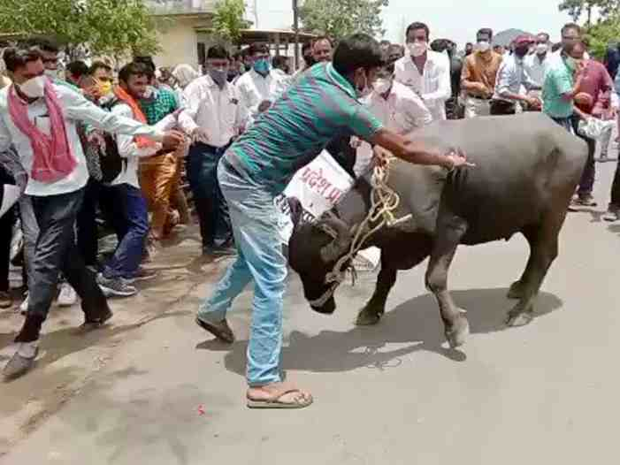 Buffalo goes berserk at protest in MP; injures one