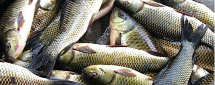 Kashmiri fishes extinct, European trout released in Rambiara river
