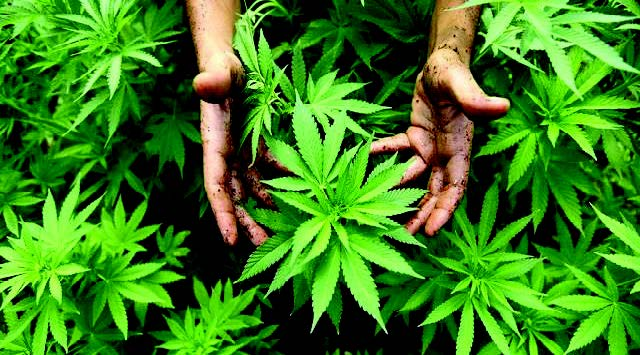 Shopian's Wachi, infamous for cannabis cultivation, redeems itself