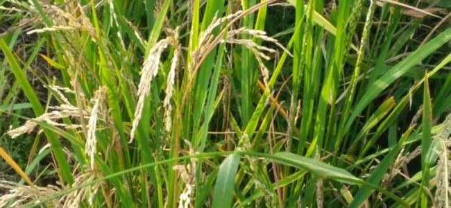 1,409 hectare of maize cultivation affected by insect attack