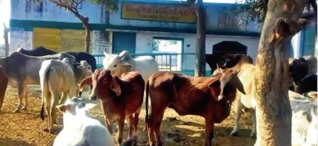 Stray cattle menace: Villagers lock cows in UP school