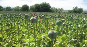 Poppy cultivation over 465 kanals of land destroyed in Shopian