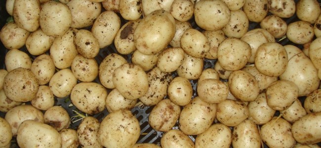 Sitaharan in Budgam to be developed as potato seed village