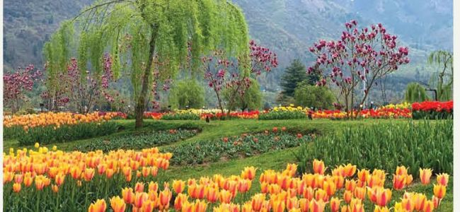 Tulip Garden to open for visitors today