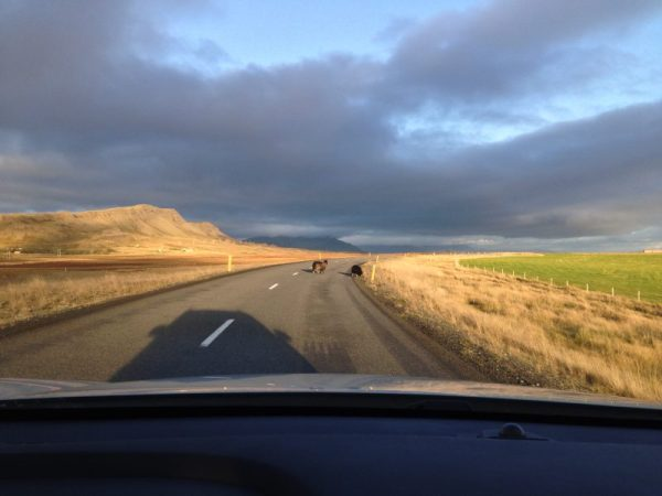 sheep on a road in iceland
