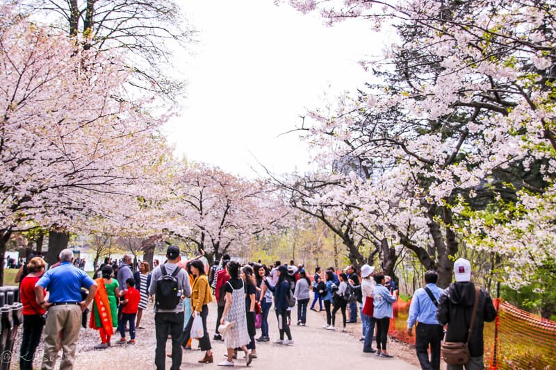 Where to find cherry blossoms in Toronto
