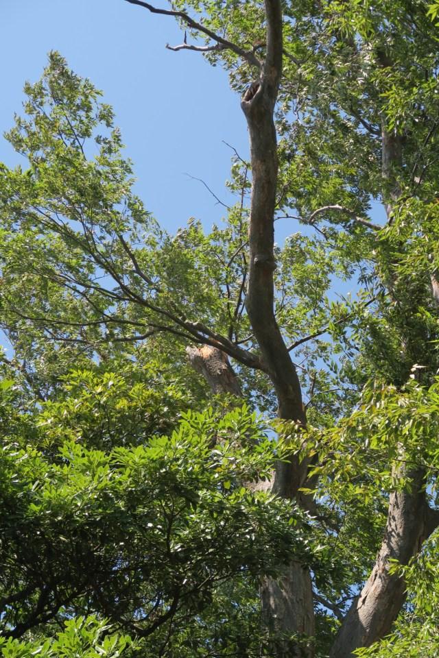 間明 御馬神社 指定保存樹木の被害2