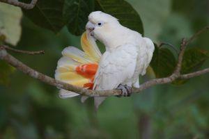 Preening Philippines Cockatoo