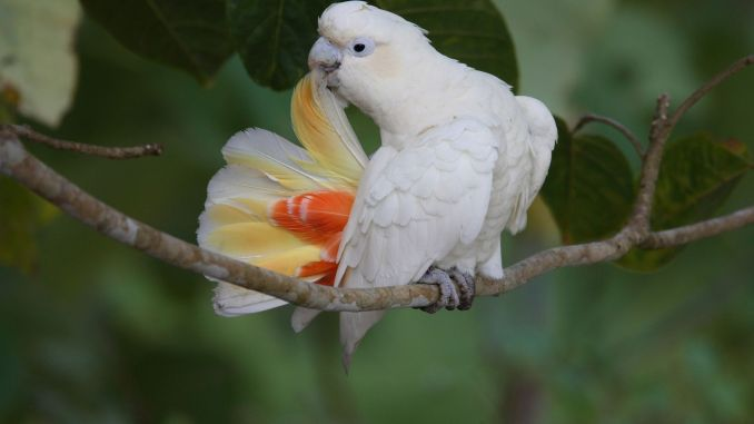Preening Philippine Cockatoo