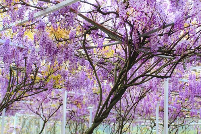 週末好去處   季節限定紫藤花瀑布 (北區總整理)