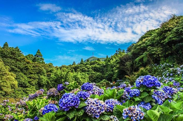 週末好去處 |  陽明山竹子湖繡球花 花都開好了 (新增交通管制圖)