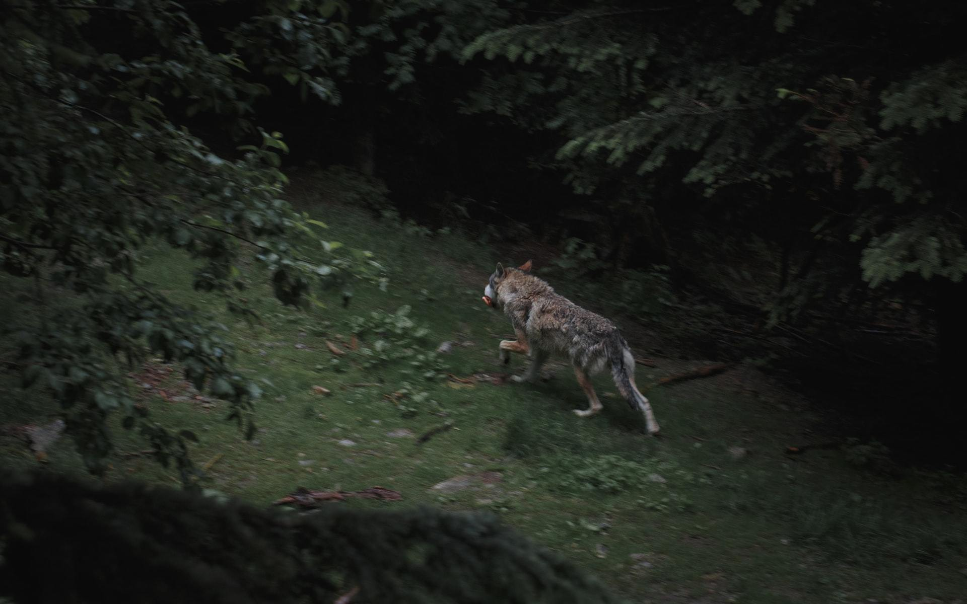 A wolf with something in its mouth running through a dark forest