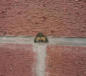 butterfly UK british