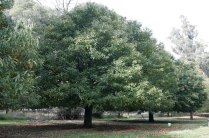 chestnut_tree