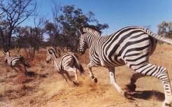 jembisa-zebra-made_2762005k