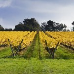 vines, winery, Stoniers, grapevines, Victoria, kate mccombie, photographer, melbourne