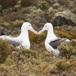 sea bird, Enderby Island, sub-antarctic