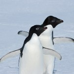 antarctica, kate mccombie, melbourne, photographer, penguins