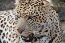 sami alam nimira leopards born free sanctuary shamwari