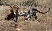 leopard born free sanctuary shamwari