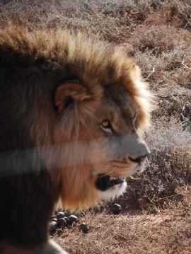Jerry the lion born free sanctuary shamwari