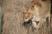 jules the lioness at born free sanctuary shamwari