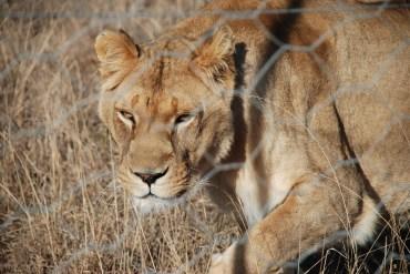 jules the lioness at born free sanctuary shamwari