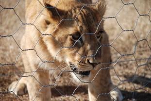young lion born free sanctuary shamwari
