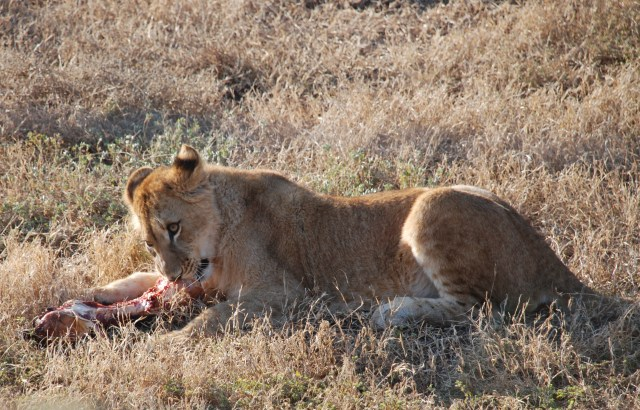 young lion eating at born free sanctuary