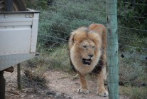 aslan the lion at born free sanctuary