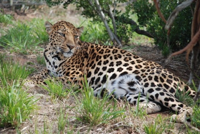rescued leopard at born free sanctuary, born free south centre, shamwari