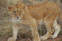 young lion born free sanctuary shamwari