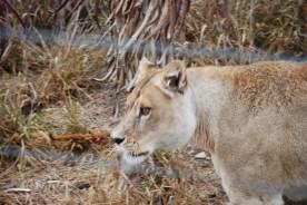 Ma Juah the lioness at born free sanctuary