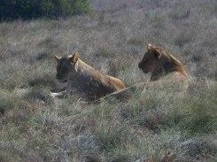lionesses born free sanctuary shamwari