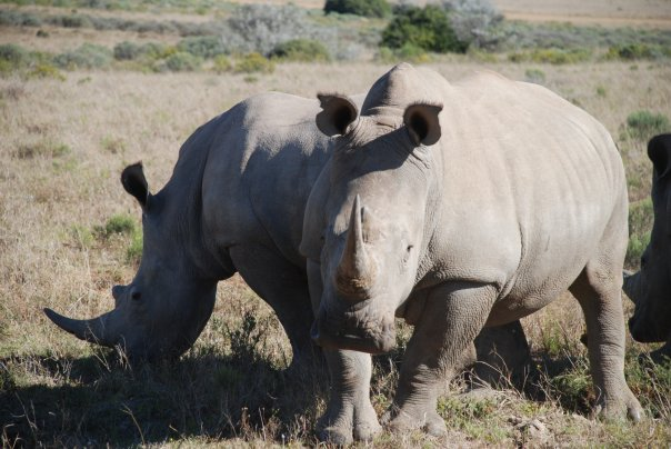 Rhino Conservation by Kate on conservation