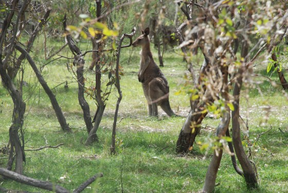 A Kangaroo in Melbourne