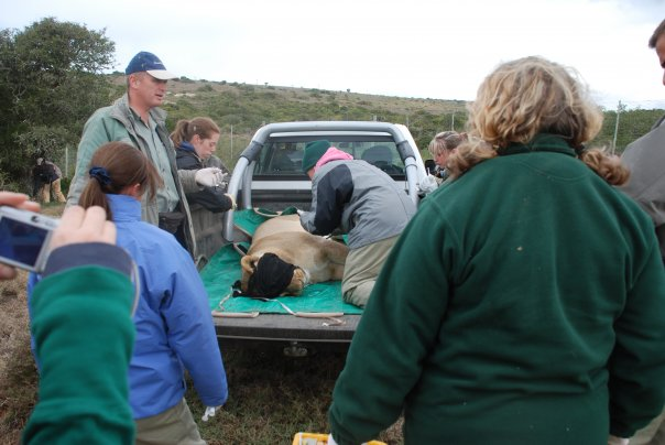 Helping the vet at Shamwari