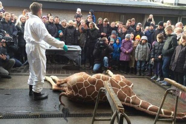 Marius the giraffe, Copenhagen Zoo