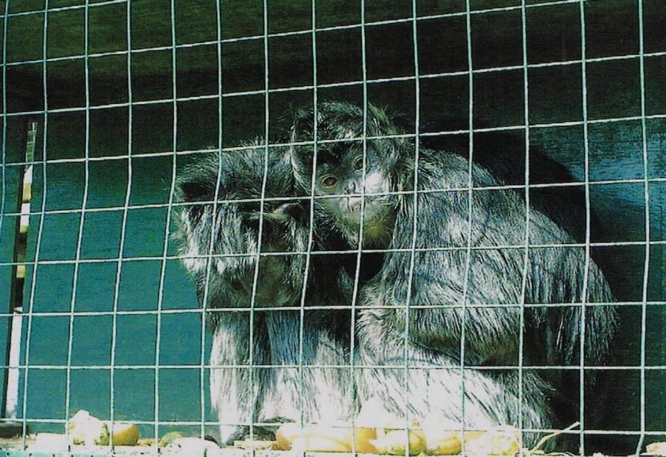 captive monkeys at the zoo