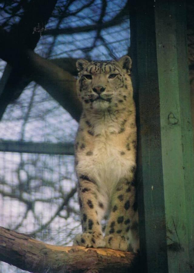 Big captive cat