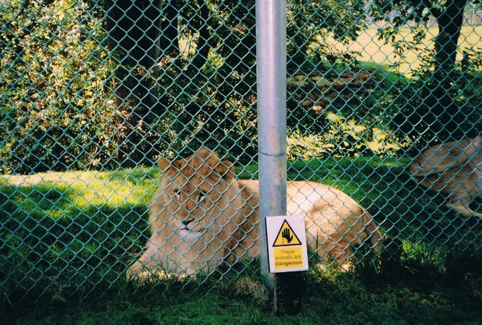 Captive zoo lion