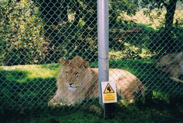 Captive zoo lion